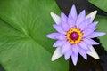 Free Water Lily, Lotus Royalty Free Stock Photo - 24289195