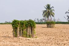 Free Bunches Of Breeding Sapling Of Cassava Stock Photos - 24280463