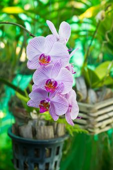 Free Purple Orchid Flower, Beautiful Royalty Free Stock Photos - 24281098