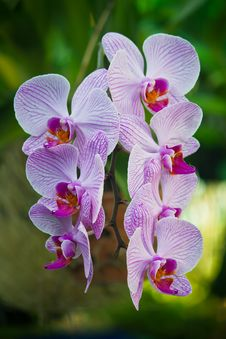 Free Purple Orchid Flower, Beautiful Royalty Free Stock Images - 24281279