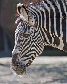Free Zebra Portrait Royalty Free Stock Photography - 24283797