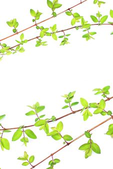 Free Green Leaves Branches On White Stock Images - 24284714