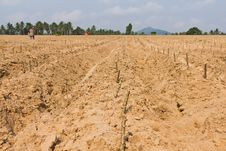 Free Cassava Planting Royalty Free Stock Photo - 24287425