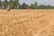Free Cassava Planting Stock Images - 24287464
