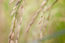 Rice, Closeup Stock Photo