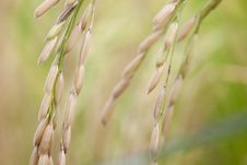 Free Rice, Closeup Stock Photo - 24288930