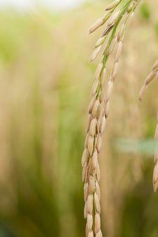 Rice, Closeup Stock Photography