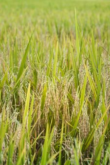 Free Rice, Closeup Stock Images - 24288934