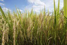 Free Rice Field Stock Photo - 24288940