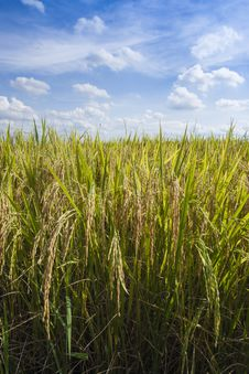 Free Rice Field Royalty Free Stock Image - 24288946