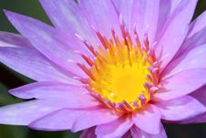 Free Water Lily, Lotus Stock Photography - 24288982