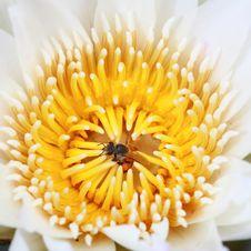 Free Water Lily, Lotus Stock Image - 24288991