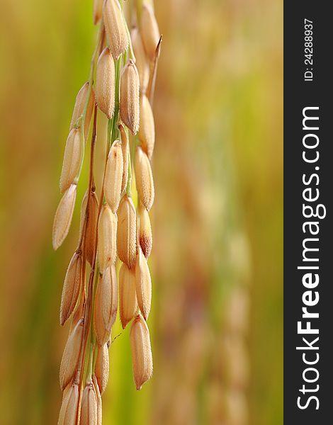 Rice, closeup