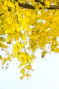 Free Golden Shower Tree Stock Images - 24297864