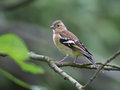 Free Chaffinch Female Stock Image - 24298261