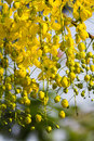 Free Golden Shower Tree Royalty Free Stock Images - 24298359