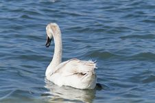 Free Young White Swan Stock Images - 24290954