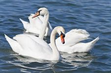 Free White Swans. Royalty Free Stock Images - 24290979