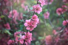 Free Chaenomeles Japonica Stock Photos - 24291623