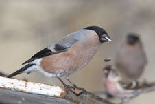 Free Chaffinch Female Portrait Stock Photos - 24297493
