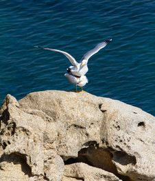 Free Seagulls Royalty Free Stock Images - 24298999