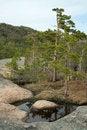 Free Pine On Stones Royalty Free Stock Image - 2430016