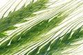 Free Wheats Stock Photo - 2430760