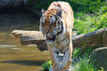 Free Tiger In Action Royalty Free Stock Photos - 2434018