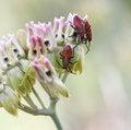 Free Red Beetles Stock Image - 2434951