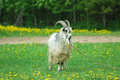 Free Goat With Big Horns Royalty Free Stock Photo - 2435325