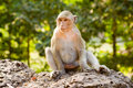 Free Sitting Monkey Stock Photos - 2435633