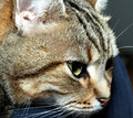 Free Tabby Cat Royalty Free Stock Photography - 2437797