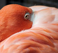 Free Pink Flamingo Head And Eye Stock Images - 2439024