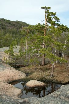 Free Pine On Stones Royalty Free Stock Image - 2430016
