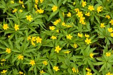 Free Yellow Flowers Royalty Free Stock Photography - 2430217