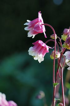 Pink And White Columbine Royalty Free Stock Images
