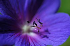 Free Geranium  Rozanne  Royalty Free Stock Photo - 2430245