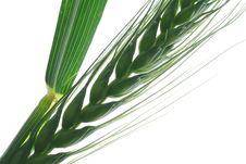 Free Wheat Stock Photos - 2430373