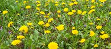 Free Dandelion Meadow Royalty Free Stock Images - 2430629