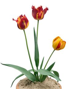 Free Tulips Royalty Free Stock Photo - 2430655
