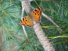 Free Butterfly In Conifer Needles Royalty Free Stock Photo - 2430815