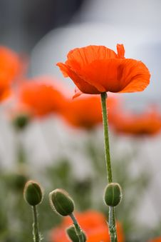 Free Common Red Poppy Royalty Free Stock Photography - 2432997