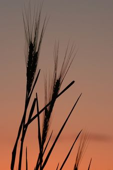 Free Wheat Silhouette 1 Stock Photography - 2433052