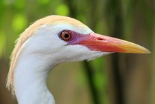 Free Egret Stock Photography - 2433422