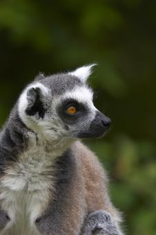 Free Ringed-tailed Lemur Stock Photo - 2433840