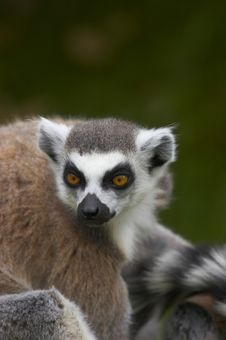 Free Ringed-tailed Lemur Stock Photography - 2433842