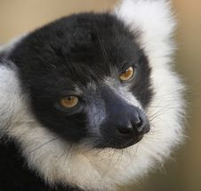 Free Black & White Lemur Royalty Free Stock Photos - 2433908