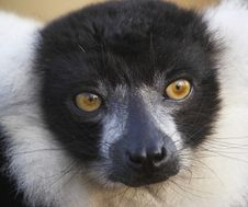 Free Engangered Black & White Lemur Royalty Free Stock Photos - 2433938