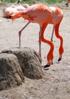 Free Flamingos Royalty Free Stock Photography - 2434107