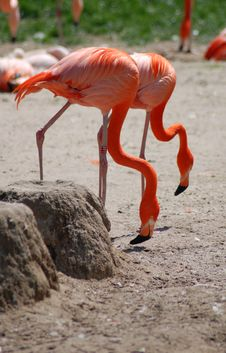 Free Flamingos Stock Photos - 2434113